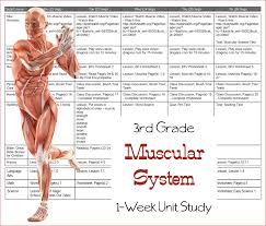 learn the muscular system third grade unit study u2013 3 boys and a dog