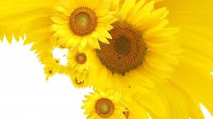 sunflower wallpapers yellow sunflower wallpapers all flowers send flowers comments