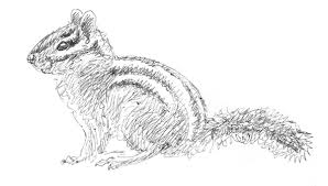 elva u0027s field notes envy golden mantled ground squirrel
