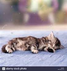 sleeping on short hair british shorthair kitten five weeks old is sleeping stock photo