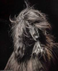 afghan hound kennel in australia kennel club u0027s dog photographer of the year awards daily mail online