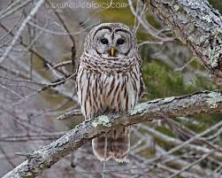 owl photograph bird photography nature picture barred owl