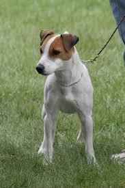 australian shepherd jack russell mix size jack russell terrier wikipedia