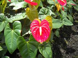 anthurium flower anthuriums how to care for anthurium flowers