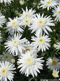 Daisy The Flower - 3066 best bloemen en planten images on pinterest flowers garden
