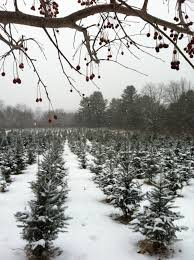 cut your own in ct u2013 snow or shine maple hollow christmas tree farm