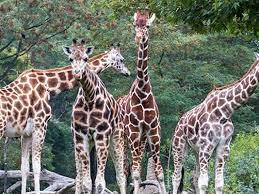Zoo Lights Woodland Park Woodland Park Zoo Giraffe Couple Is Expecting King5 Com
