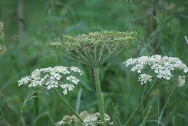 native plants alberta wildflower flowery prose