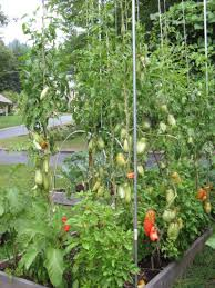 indeterminate tomato plants