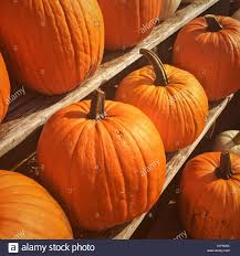 thanksgiving pumpkins on display at a farm market stock photo