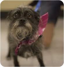 affenpinscher puppies for sale in texas ellie adopted dog arlington tx brussels griffon