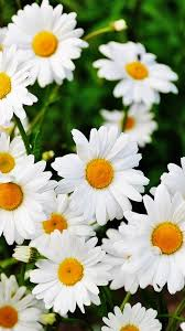 hd images of flowers daisy flowers hd wallpaper for your mobile phone