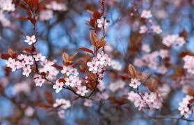cherry blossom tree lovetoknow
