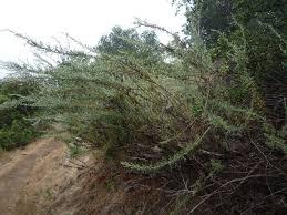 frangula californica wikipedia artemisia californica wildflowers in santa barbara