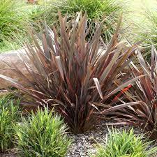 phormium tenax u0027bronze u0027 new zealand flax google search bb