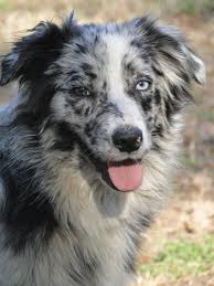 3 4 australian shepherd 1 4 blue heeler our pack