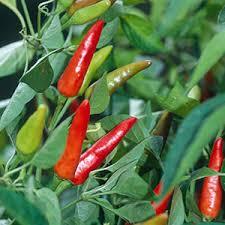 thai chili pepper seeds