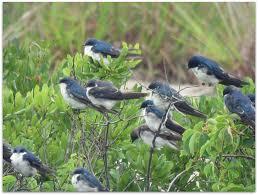 Magpie Birds In Backyards August 2015 U2013 Amy U0027s Birds