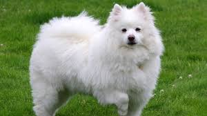 how big is american eskimo dog 9 dogs that look like huskies barking royalty