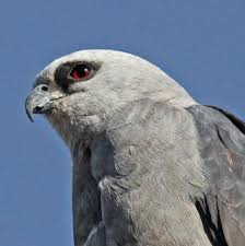 Mississippi Birds images Mississippi kite the audubon birds climate change report jpg