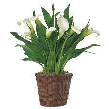 white calla white calla plant calla bulb arrangement