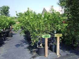 citrus trees for sale in ta brandon apollo