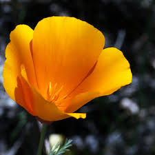 State Flower Of Colorado - california state flower california poppy