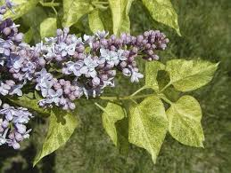 lilacs space for life