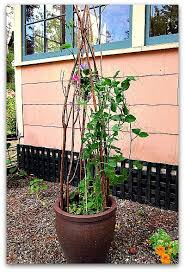 How To Make Trellis For Peas How To Make A Trellis For Your Potted Plants Tall Clover Farm
