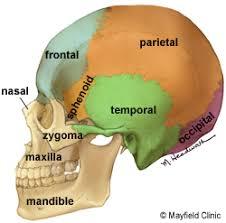 Image Of Brain Anatomy Brain Anatomy Anatomy Of The Human Brain
