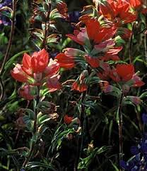 indian paintbrush flower tpwd kids indian paintbrush