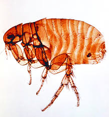 how to get rid of fleas in your house detection and prevention