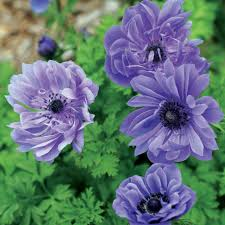 anemone plant brent and becky s bulbs
