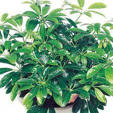 Beautiful House Plants Luseane Schefflera Arboricola Umbrella Tree Houseplants