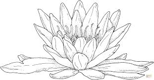 blooming water lily coloring page free printable coloring pages