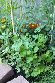everything you need to know about growing parsley kitchn