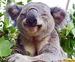 Angry Koala Meme - angry koala bear