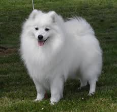 american eskimo dog giving birth the face of the japanese spitz is wedge shaped there is certainly