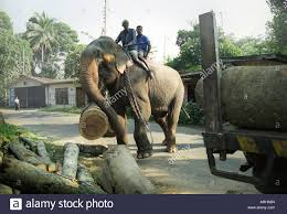 an elephant in place of a crane lifting logs to load onto a truck