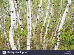 white paper birch trees betula papyrifera in spruce woods stock