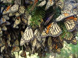 canceled flights for monarch butterflies loss of migration means