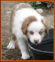 australian shepherd 6 weeks jessie u0027s litter 2 pup2 blue eyed red merle male miniature