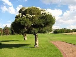 johannesburg woodmead golf course summer tree jpg