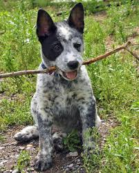 australian shepherd australian cattle dog mix koda the cattle dog mix pictures 914400 oh what a handful of