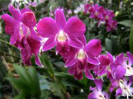 orchid plants varashree farm nursery orchid plant