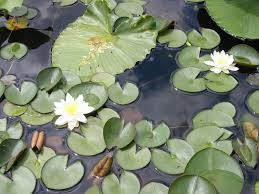 native water plants fragrant water lily identification and control nymphaea odorata