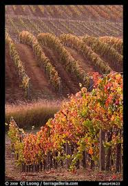 picture photo golden fall colors grape vines napa valley