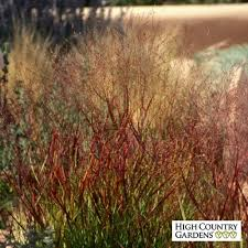 shenandoah switch grass panicum virgatum shenandoah high