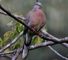 spotted dove birds in backyards