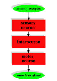 What Is Interneuron What Is The Function Of A Multipolar Neuron Quora